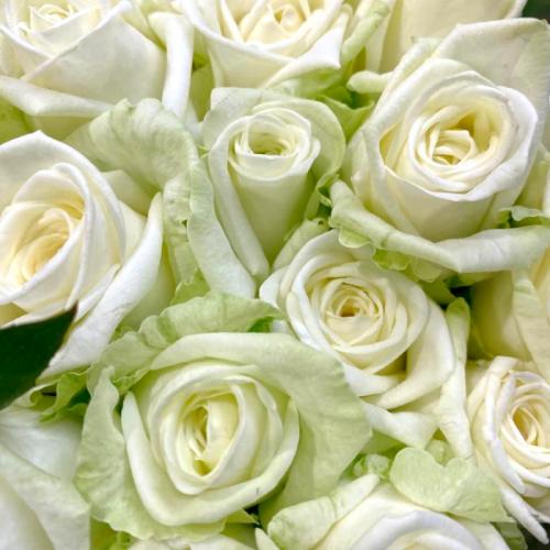 Роза «Маруся» (1 шт), высота цветка в ассортименте