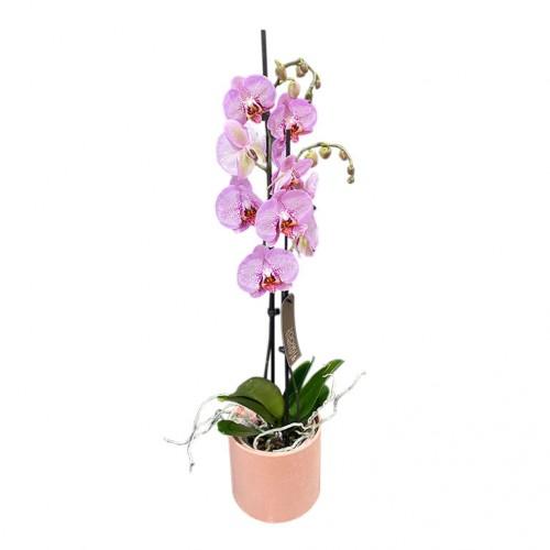 Комнатное растение Орхидея фалинопсис