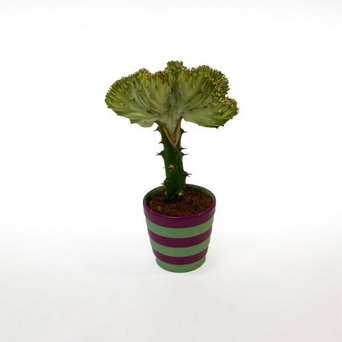 Комнатное растение Эуфорбия