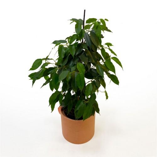 Комнатное растение Фикус