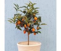 Комнатное растение Цитрин